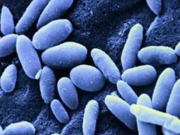 Грибок Candida под микроскопом